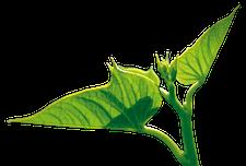 Potato leaf APH Group